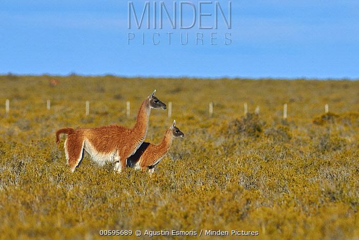 Guanaco (Lama guanicoe) mother and cria, Argentina