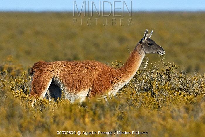 Guanaco (Lama guanicoe), Argentina