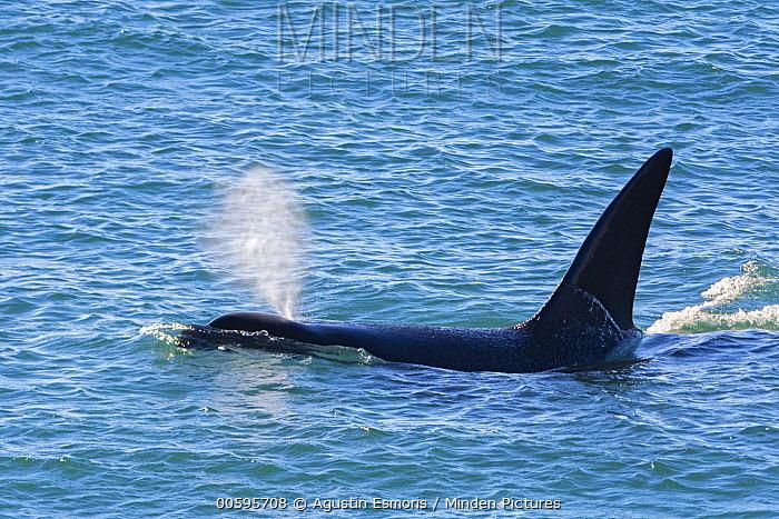 Orca (Orcinus orca) surfacing, Peninsula Valdez, Argentina