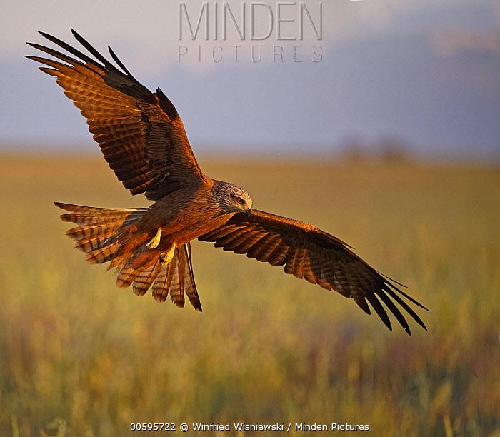 Black Kite (Milvus migrans) flying, Castile-La Mancha, Spain
