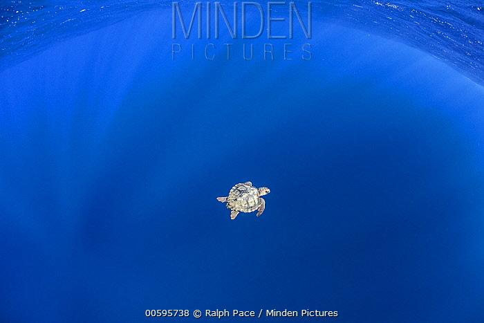 Loggerhead Sea Turtle (Caretta caretta) juvenile, San Diego, California