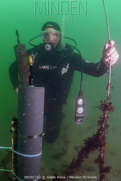 White Seabass (Atractoscion nobilis) biologist changing LARS acoustic detector to detect fish spawning sounds, San Diego, California