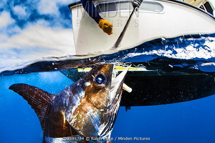 Swordfish (Xiphias gladius) being harvested by fisherman, San Diego, California