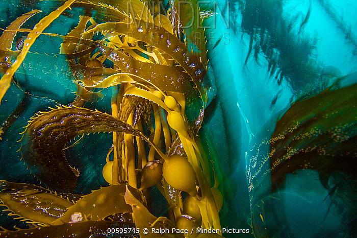 Giant Kelp (Macrocystis pyrifera), Monterey Bay, California