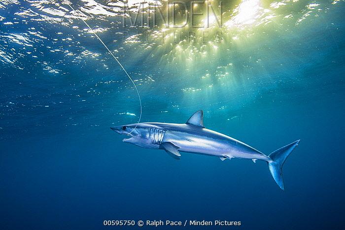 Shortfin Mako (Isurus oxyrhynchus) male caught on fishing line, California