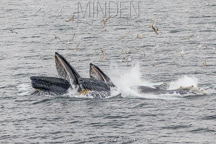 Humpback Whale (Megaptera novaeangliae) pair gulp feeding, Morris Reef, Alaska