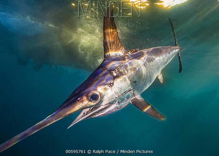 Swordfish (Xiphias gladius) with tags to determine effectiveness of fishing gear, San Diego, California