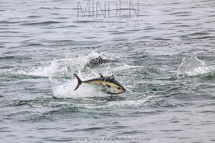Pacific Bluefin Tuna (Thunnus orientalis) pair hunting Northern Anchovy (Engraulis mordax), San Diego, California