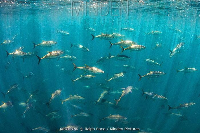 Pacific Bluefin Tuna (Thunnus orientalis) school, San Diego, California