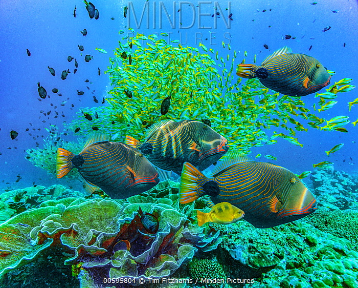 Orange-striped Triggerfish (Balistapus undulatus) and snapper school, Miniloc Island, Palawan, Philippines