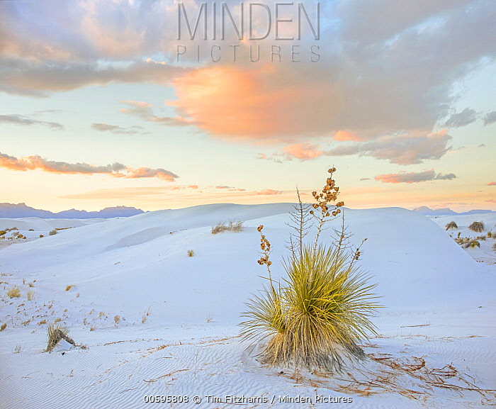 Agave (Agave sp) in desert, White Sands National Monument, New Mexico