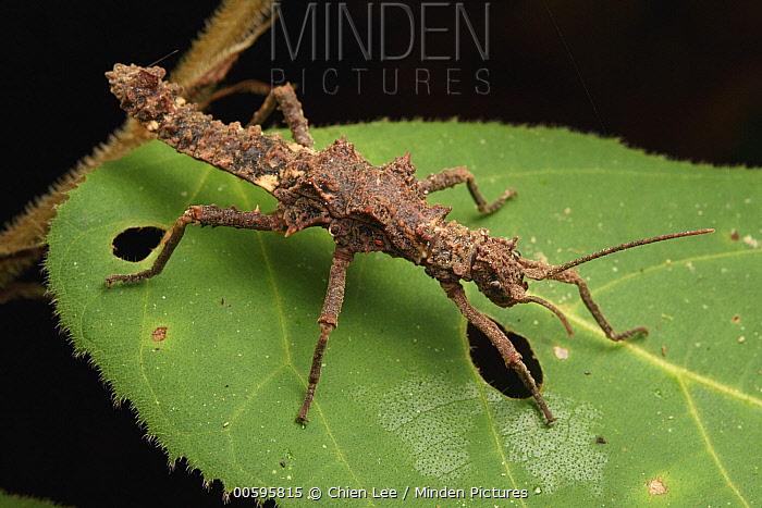 Stick Insect (Dares ulula) juvenile, Kubah National Park, Sarawak, Borneo, Malaysia