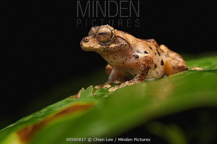 Frog (Philautus gunungensis) male, Mount Kinabalu National Park, Sabah, Borneo, Malaysia