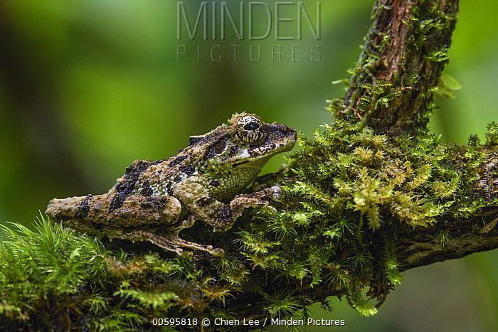 Mossy Bush Frog (Philautus macroscelis) female, Mount Kinabalu National Park, Sabah, Borneo, Malaysia