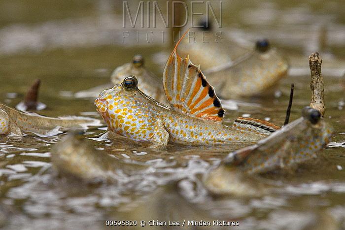 Gold-spotted Mudskipper (Periophthalmus chrysospilos) group, Bako National Park, Sarawak, Borneo, Malaysia