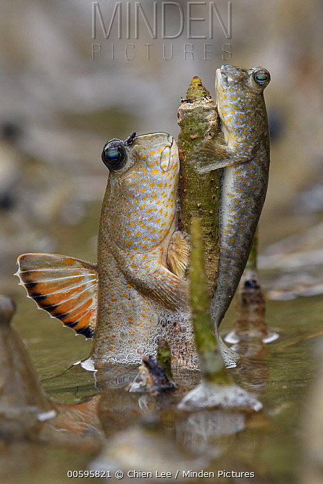 Gold-spotted Mudskipper (Periophthalmus chrysospilos) pair, Bako National Park, Sarawak, Borneo, Malaysia