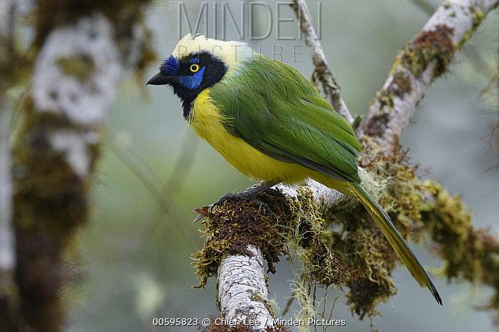 Green Jay (Cyanocorax yncas), Napo, Ecuador
