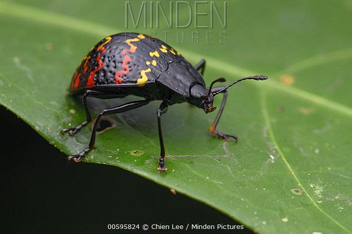 Pleasing Fungus Beetle (Erotylus incomparabilis), Orellano, Ecuador