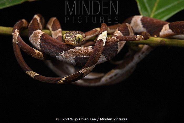 Blunt-headed Tree Snake (Imantodes cenchoa), Yasuni National Park, Ecuador