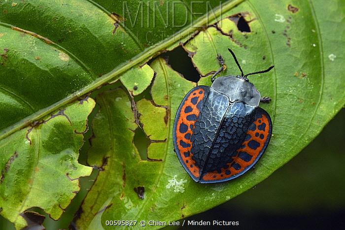 Leaf Beetle (Omaspides sp), Mashpi Amagusa Reserve, Ecuador