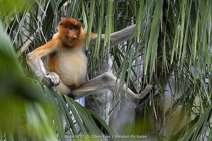 Proboscis Monkey (Nasalis larvatus) sub-adult, Bako National Park, Sarawak, Borneo, Malaysia