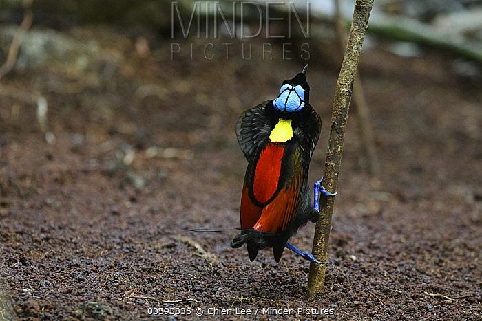 Wilson's Bird-of-paradise (Cicinnurus respublica) male courting at display site, Waigeo, Indonesia