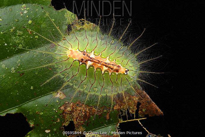 Cup Moth (Idonauton apicalis) caterpillar, Sepilok Forest Reserve, Sabah, Borneo, Malaysia