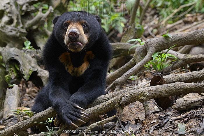 Sun Bear (Helarctos malayanus), Bornean Sun Bear Conservation Centre, Sabah, Borneo, Malaysia