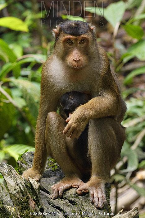 Pig-tailed Macaque (Macaca nemestrina) mother with young, Bornean Sun Bear Conservation Centre, Sabah, Borneo, Malaysia