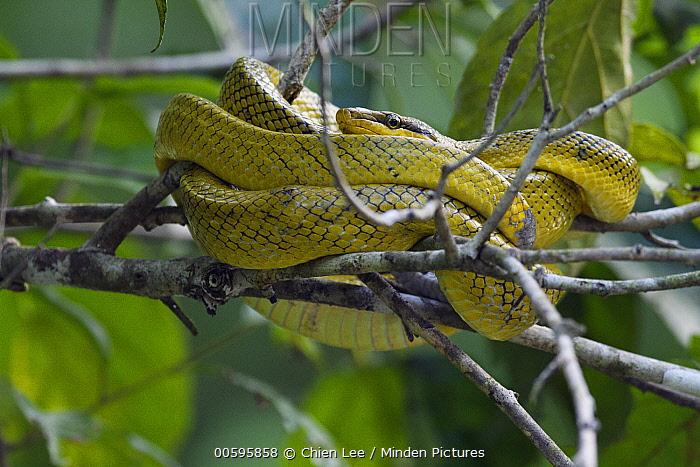 Red-tailed Green Ratsnake (Gonyosoma oxycephalum), Kinabatangan Wildlife Sanctuary, Sabah, Borneo, Malaysia
