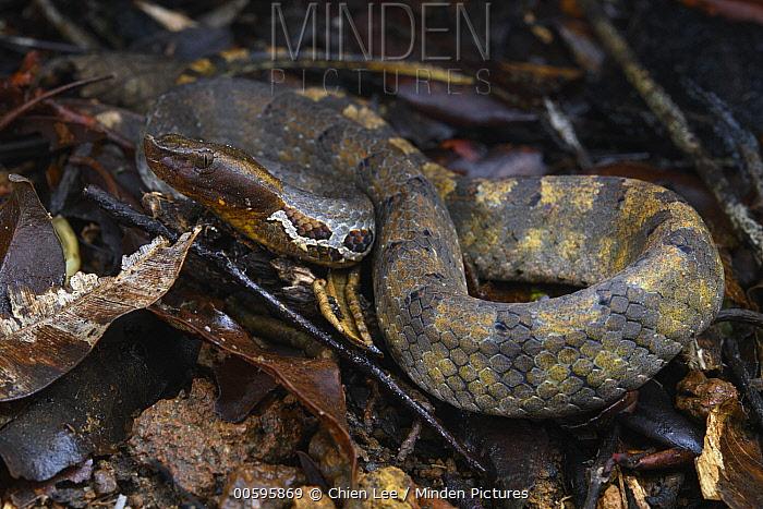 Lowlands Hump-nosed Pit Viper (Hypnale zara), Sinharaja Forest Reserve, Sri Lanka