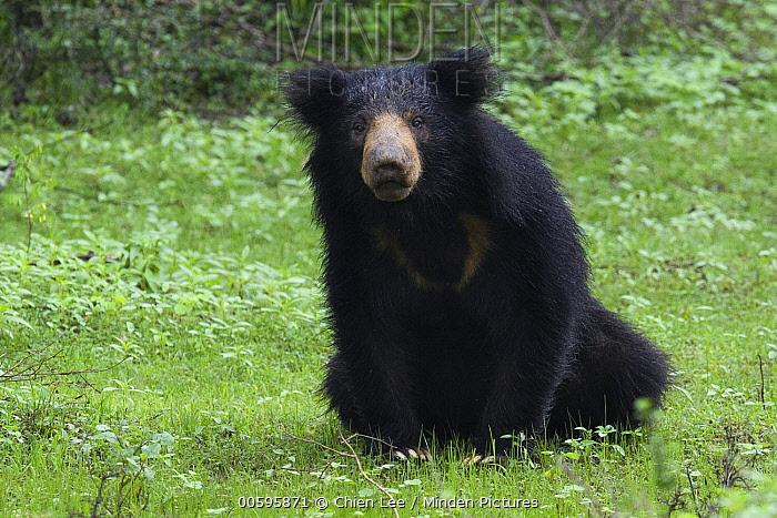 Sloth Bear (Melursus ursinus), Sri Lanka
