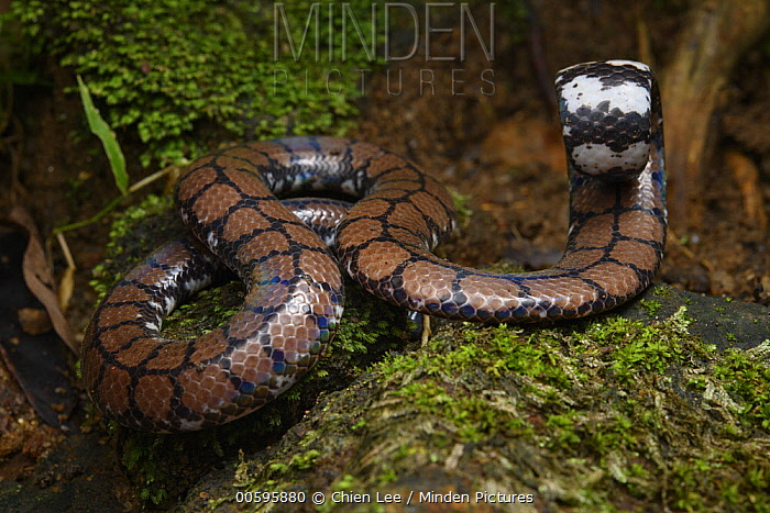 Ceylonese Cylinder Snake (Cylindrophis maculatus) in defensive posture, Kandy, Sri Lanka