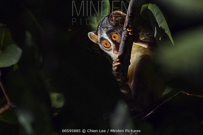 Gray Slender Loris (Loris lydekkerianus), Puttalam, Sri Lanka