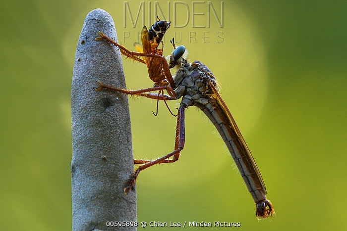 Robber Fly (Microstylum sp) with spider prey, Berenty Private Reserve, Madagascar