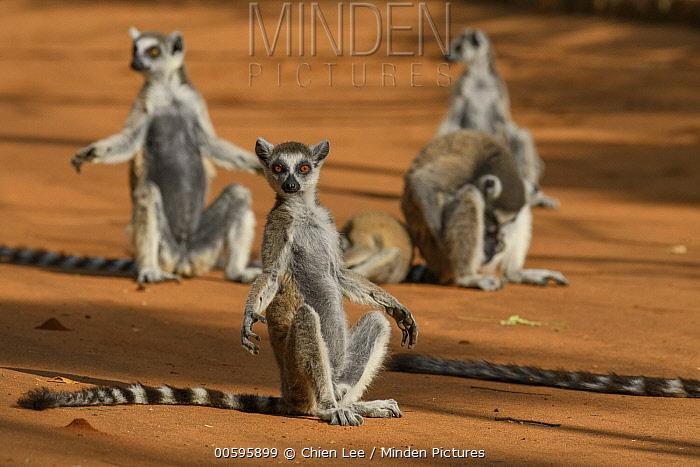 Ring-tailed Lemur (Lemur catta) group basking, Berenty Private Reserve, Madagascar