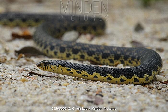 Madagascar Menarana Snake (Leioheterodon madagascariensis), Akanin'ny Nofy Reserve, Madagascar