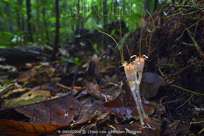 Fairy Lantern (Thismia neptunis) mushroom, unseen since its original discovery in 1866 by Odoardo Beccarii, it was re-discovered in 2018, Kubah National Park, Sarawak, Borneo, Malaysia