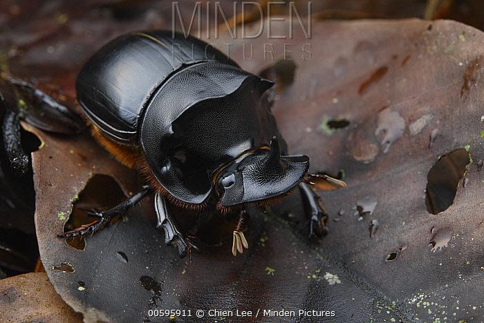 Dung Beetle (Catharsius renaudpauliani) male, Sabah, Borneo, Malaysia