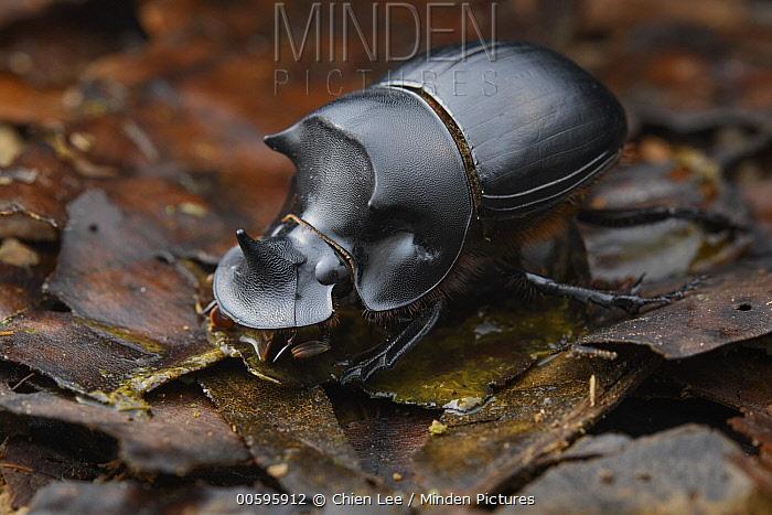Dung Beetle (Catharsius dayacus) male, Sabah, Borneo, Malaysia