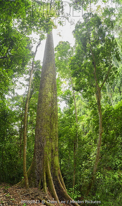 Yellow Meranti (Shorea faguetiana), named 'Menara' is the tallest recorded tropical tree in the world measuring100.8 meters recorded in January 2019, Danum Valley Conservation Area, Borneo, Sabah, Malaysia