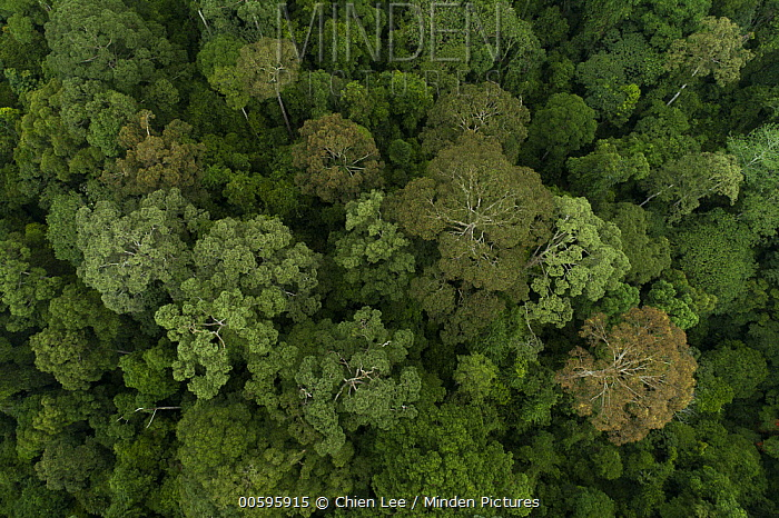 Rainforest canopy during mass flowering, Danum Valley Conservation Area, Sabah, Borneo, Malaysia