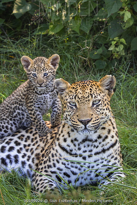 Leopard (Panthera pardus) mother and five-week-old cub, Jao Reserve, Botswana