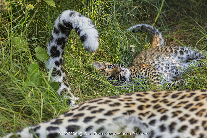 Leopard (Panthera pardus) five-week-old cub playing with mother's tail, Jao Reserve, Botswana