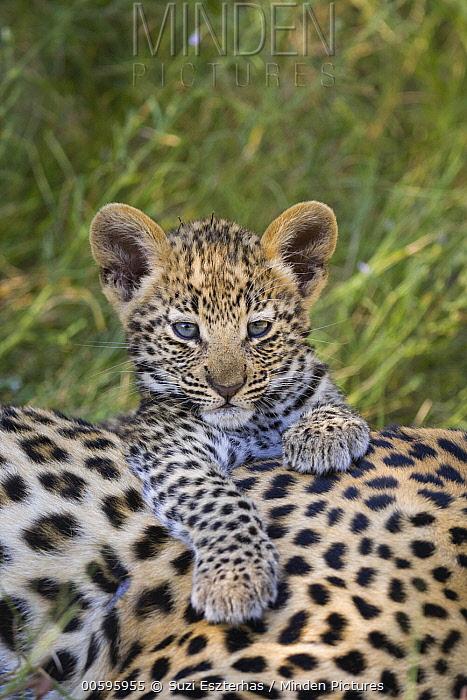 Leopard (Panthera pardus) five-week-old cub, Jao Reserve, Botswana