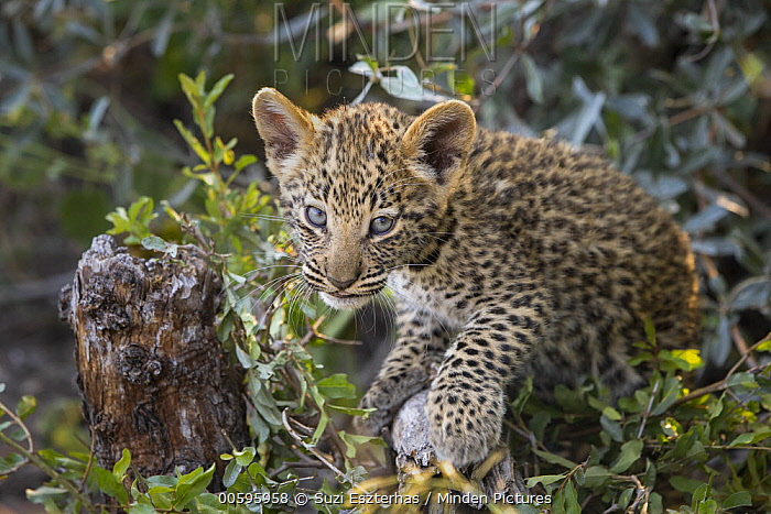 Leopard (Panthera pardus) five-week-old cub in tree, Jao Reserve, Botswana