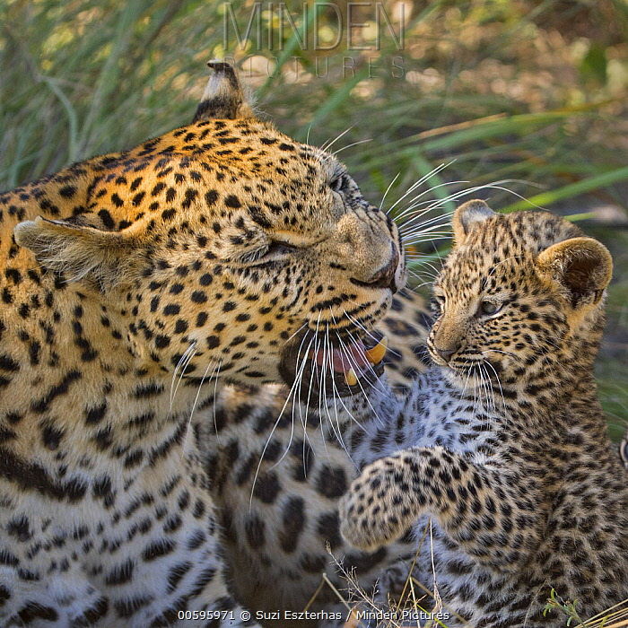 Leopard (Panthera pardus) mother playing with her six-week-old cub, Jao Reserve, Botswana