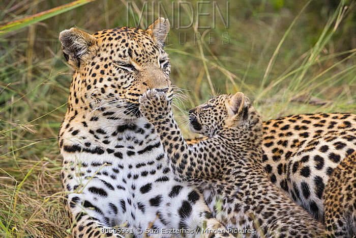 Leopard (Panthera pardus) six-week-old cub playfully hitting mother on the nose, Jao Reserve, Botswana