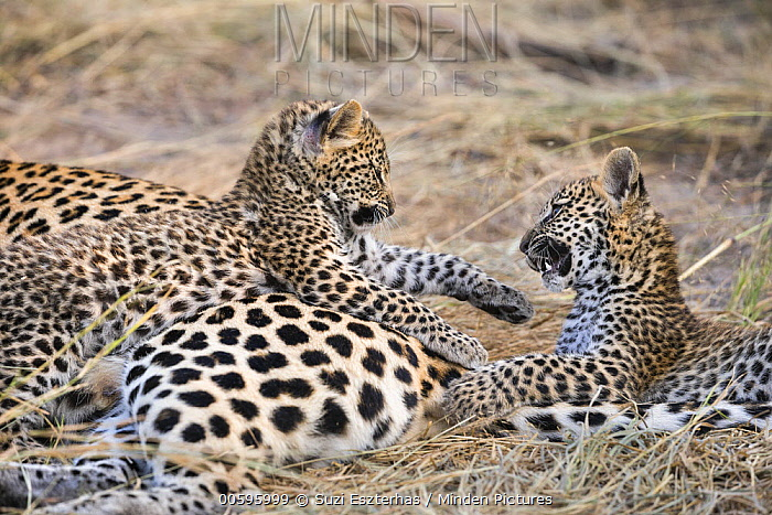 Leopard (Panthera pardus) six-week-old cubs playing, Jao Reserve, Botswana