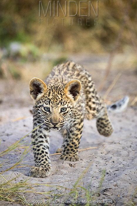 Leopard (Panthera pardus) six-week-old cub, Jao Reserve, Botswana